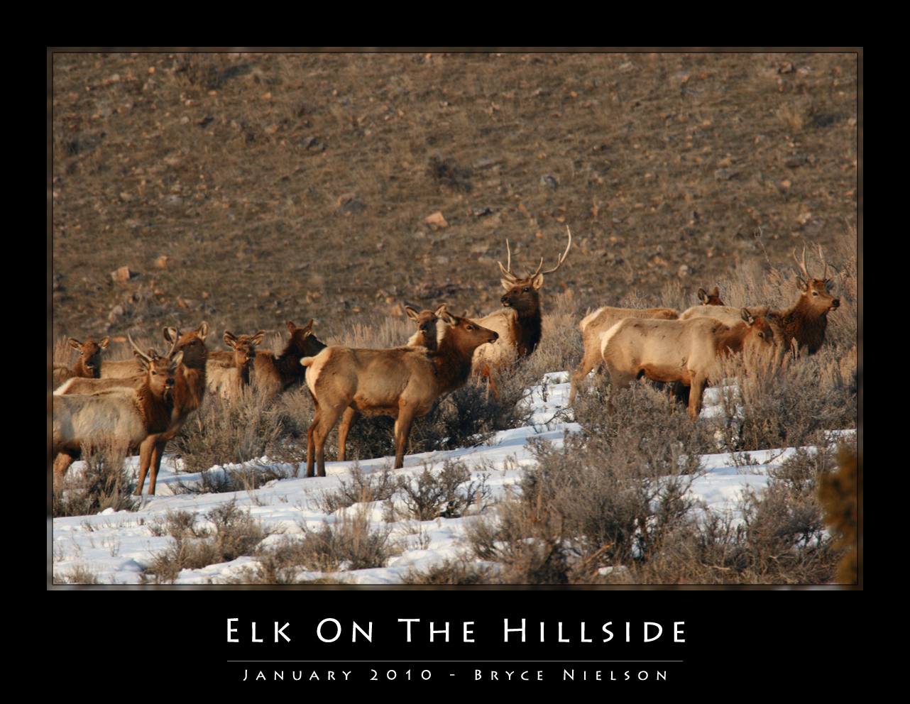 Elk On The Hillside