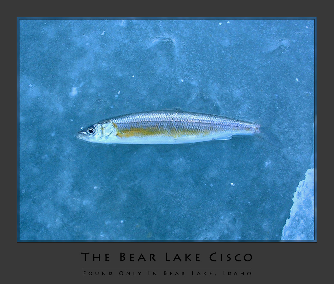 The Bear Lake Cicso